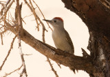 Birdtrip to the Mauritania 2018
