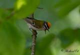 Brandkronad kungsfågel - Firecrest (Regulus ignicapillus)