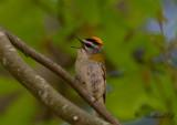 Brandkronad kungsfågel - Common Firecrest (Regulus ignicapillus)