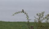 Kornsparv - Corn Bunting (Emberiza calandra)