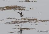 Grönbena - Wood Sandpiper (Tringa glareola)