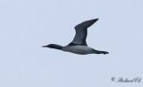 Storlom - Black-throated Diver (Gavia artica)