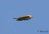 Sånglärka - Eurasian skylark (Alauda arvensis)