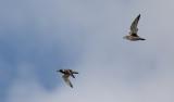 Kustpipare - Grey Plover (Pluvialis squatarola)