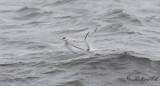 Småtärna - Little Tern (Sterna albifrons)