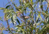 Eksångare - Eastern Olivaceous Warbler (Hippolais pallida)