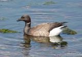 Prutgås - Brant Goose (Branta bernicla)