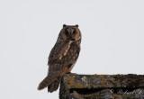 Hornuggla - Long-eared Owl (Asio otus)