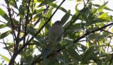 Sibirisk gransångare - Siberian Chiffchaff (Phylloscopus collybita tristis)
