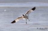 Skärfläcka - Pied Avocet (Recurvirostra avosetta)