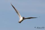 Skrattmås - Black-headed Gull (Larus ridibundus)