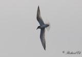Sandtärna - Gull-billed Tern (Gelochelidon nilotica)