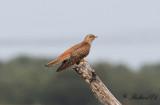 Gök - Common Cuckoo (Cuculus canorus)
