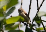 Pungmes - Penduline Tit (Remiz pendulinus)