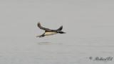 Svartnäbbad islom - Common Loon (Gavia immer)