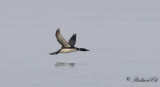 Svartnäbbad islom - Great Northern Loon (Gavia immer)