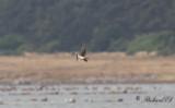Svartvingad vadarsvala - Black-winged Pratincole (Glareola nordmanni)