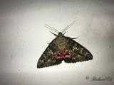 Ekordensfly - Light Crimson Underwing (Catocala promissa)