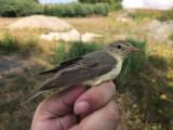Härmsångare - Icterine Warbler (Hippolais icterina)