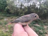 Rödstjärt - Common Redstart (Phoenicurus phoenicurus)