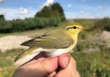 Grönsångare - Wood Warbler (Phylloscopus sibilatrix)