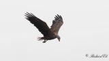 Havsörn - White-tailed Eagle (Haliaeetus albicilla)