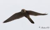 Tornfalk - Common Kestrel (Falco tinnunculus)