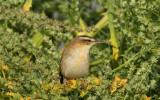 Sävsångare - Sedge Warbler (Acrocephalus schoenobaenus)