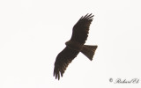 Brun glada - Black Kite (Milvus migrans)