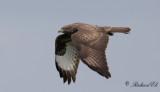 Ormvråk - Common Buzzard (Buteo buteo)