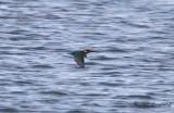 Kungsfiskare - Common Kingfisher (Alcedo atthis)