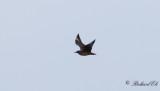 Storlabb - Great Skua (Stercorarius skua)