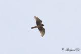 Blå kärrhök - Hen Harrier (Circus cyaneus)