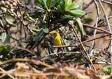 Svartkronad skogssångare - Wilson's warbler (Cardellina pusilla)