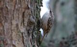 Trädgårdsträdkrypare - Short-toed Treecreeper (Certhia brachydactyla)