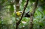 Gulstrupig vireo - Yellow-throated Vireo (Vireo flavifrons)