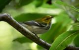 Grönryggig skogssångare - Black-throated Green Warbler (Setophaga virens)