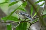 Brunbröstad skogssångare - Bay-breasted warbler (Setophaga castanea)