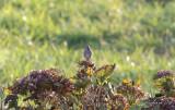 Vitstrupig sparv - White-throated Sparrow (Zonotrichia albicollis)