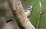Kanadavireo - Philadelphia Vireo (Vireo philadelphicus)