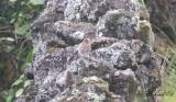 Blåtjocknäbb - Blue Grosbeak (Passerina caerulea)