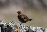 Koltrast - Blackbird (Turdus merula azorensis)
