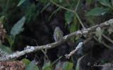 Vitögd vireo - White-eyed Vireo (Vireo griseus)