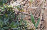 Taigasångare - Yellow-browed Warbler (Phylloscopus inornatus)