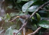 Rödstjärtad skogssångare - American Redstart (Setophaga ruticilla)