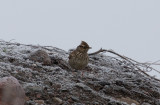 Trädlärka - Wood lark (Lullula arborea)