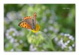 Vlinders / Butterflies