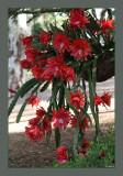 Epiphyllum basket - 2