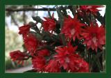Epiphyllum basket up close