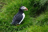 Atlantic Puffin at Burrow